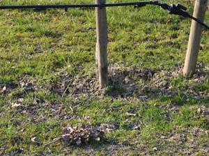 Piante di farnia micorrizate (Quercus robur L. - Quercus ...